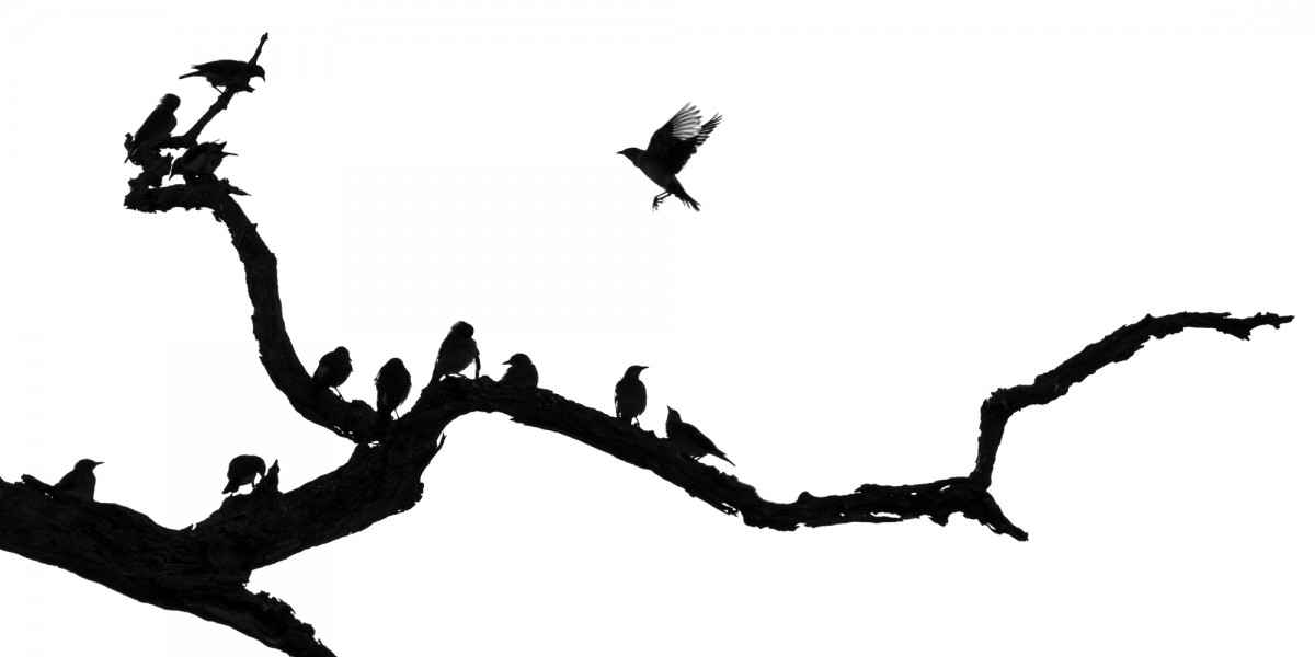 Silhouette of weaver birds on a branch