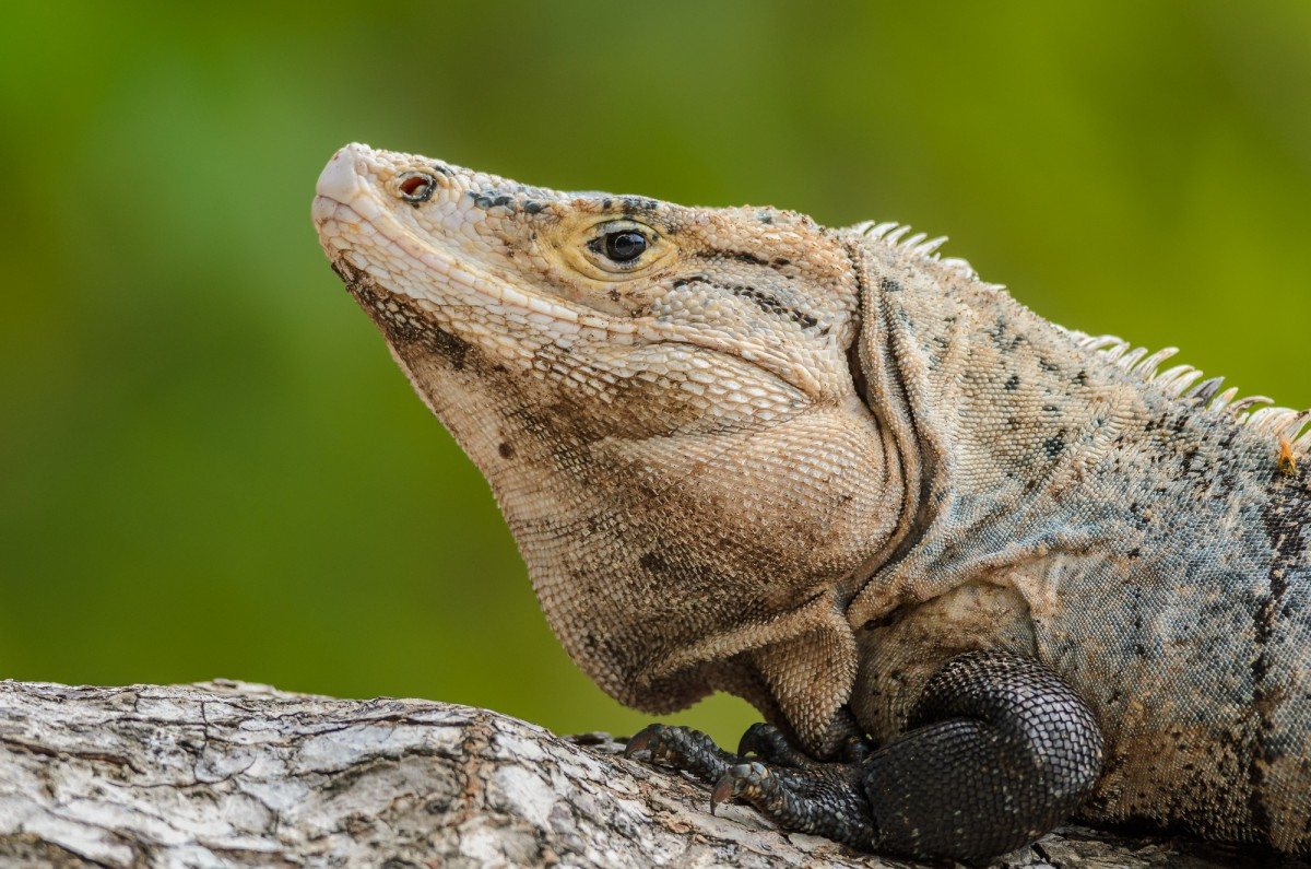 Black spiny-tailed iguana (Ctenosaura similis) portrait.