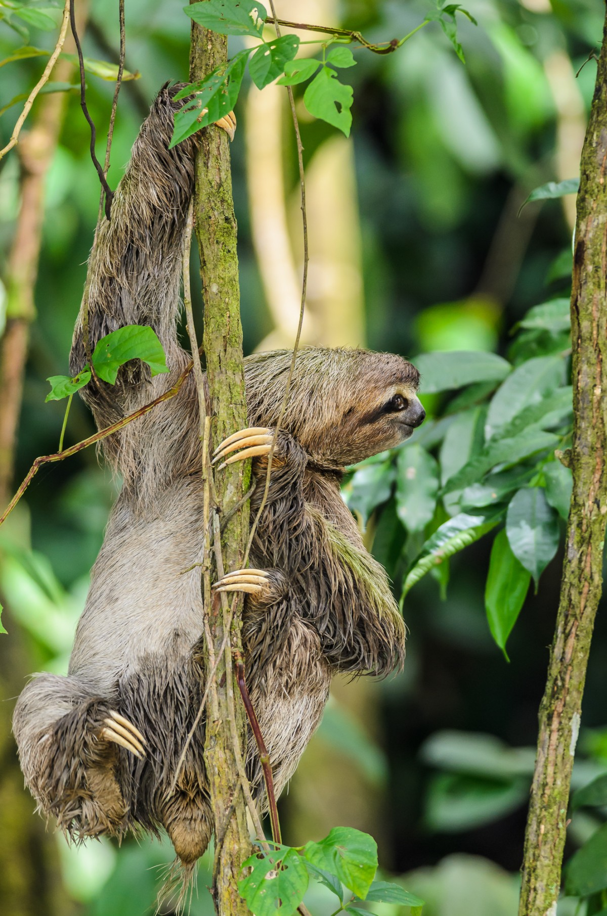 Brown-throated sloth (Bradypus variegatus) climbing in a tree in the rainforest of Costa Rica.