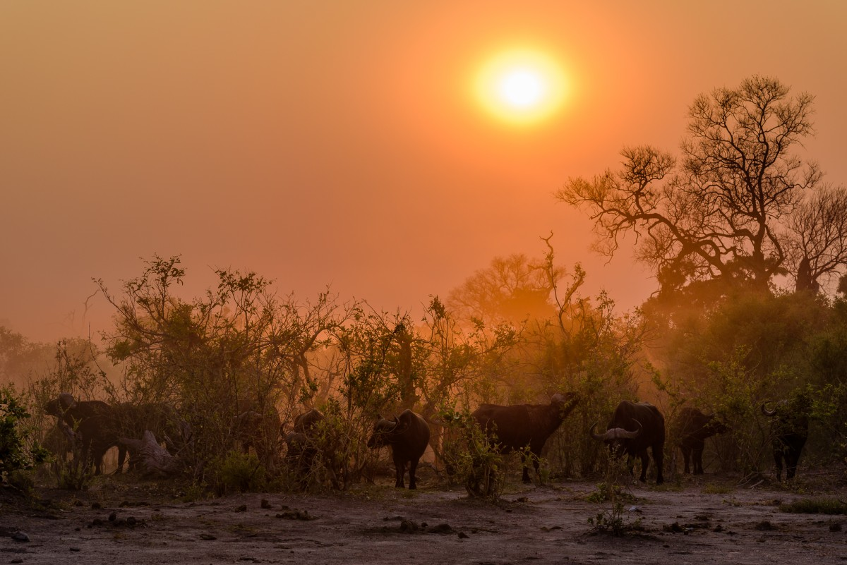 Herd of Cape buffalo (Syncerus caffer) during sunrise - Chobe Np, Botswana