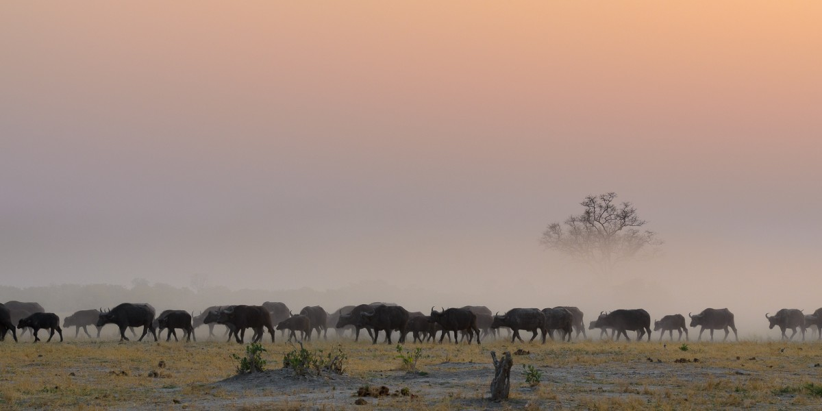 A herd of Cape buffalo (Syncerus caffer) with a layer of dust - CHobe Np, Botswana