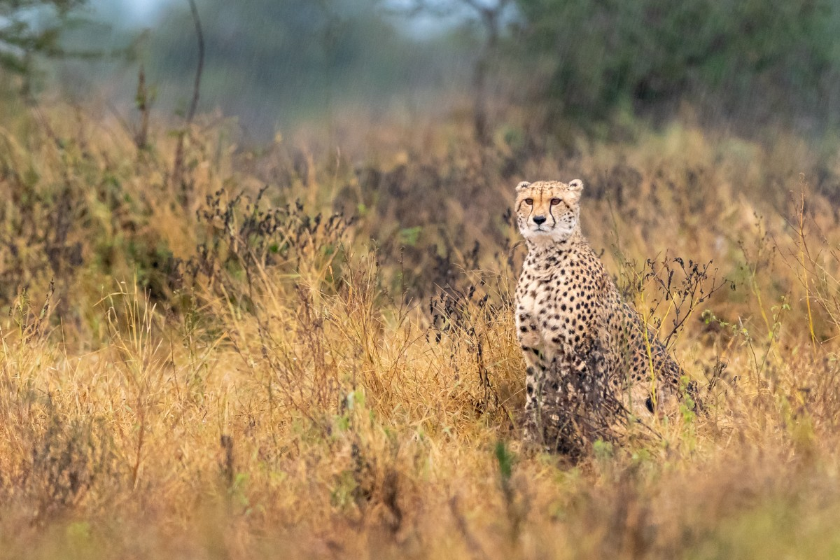 Cheeta on the lookout