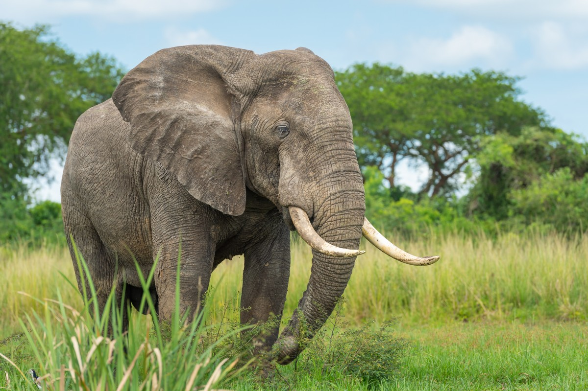 African elephant in its environment - Murchison Falls NP, Uganda