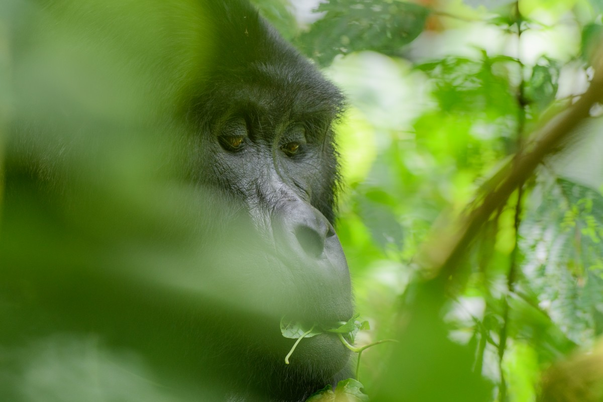 Mysterious face of a mountain gorilla - Bwindi Impenetrable Forest, Uganda