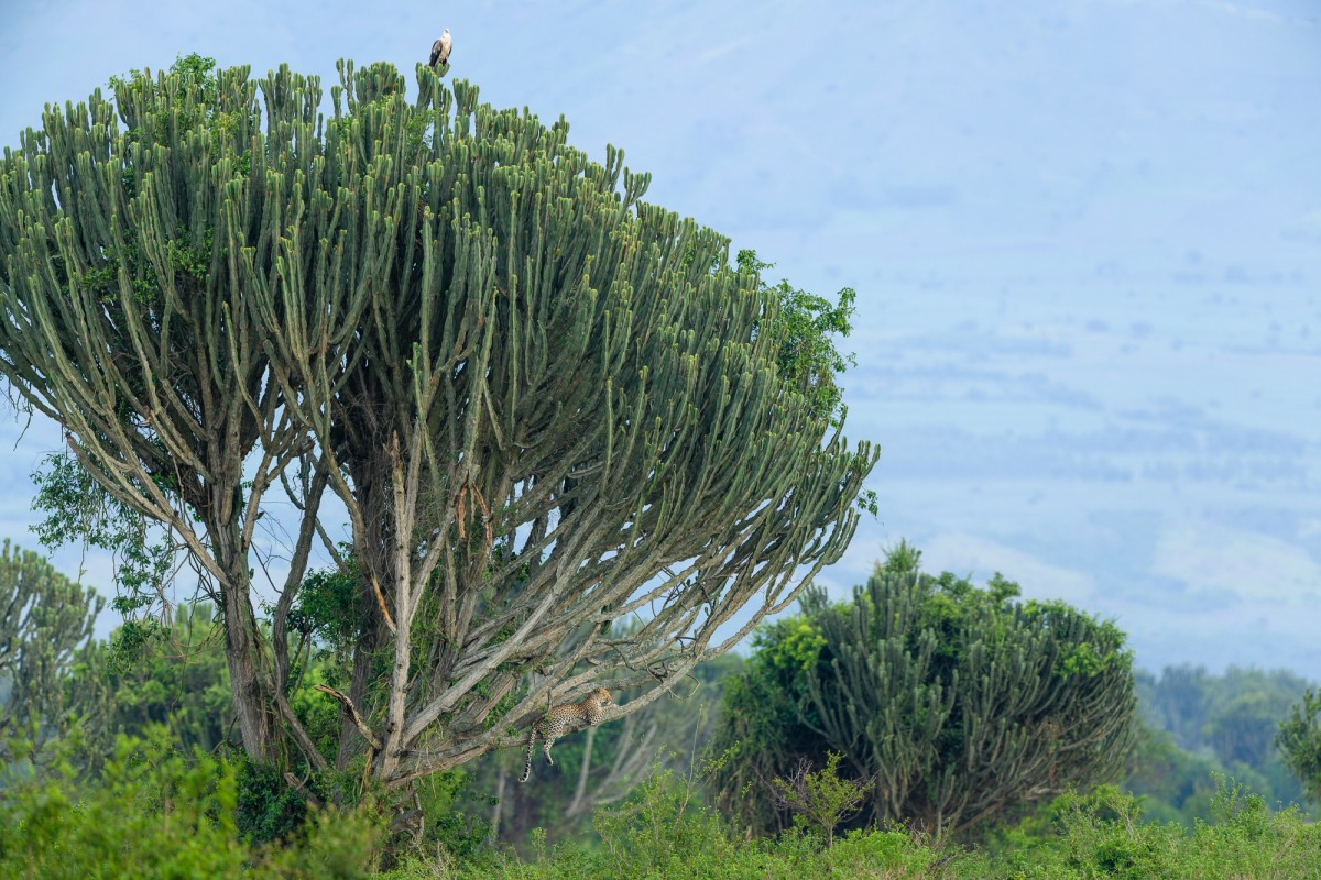 Leopard and African fish eagle in a cactus tree - Queen Elizabeth NP, Uganda