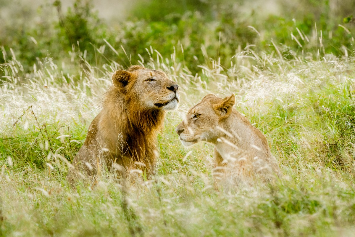 Lion and lioness in backlit grass