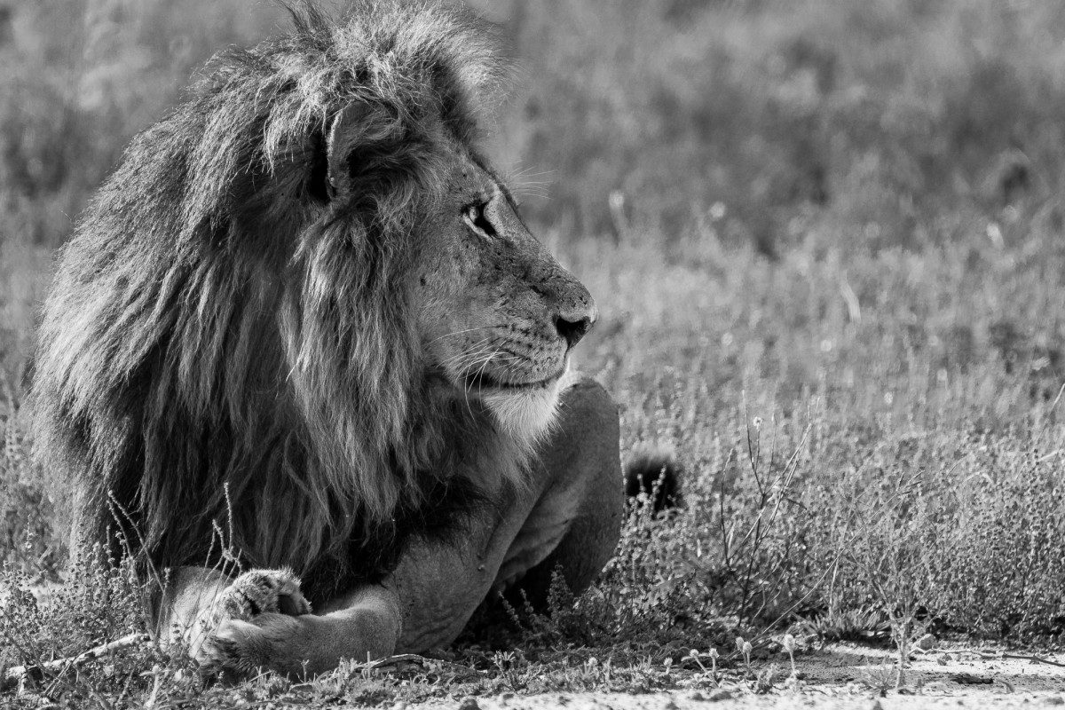 Black and white portrait of a majestic lion - Sabi Sands, South Africa