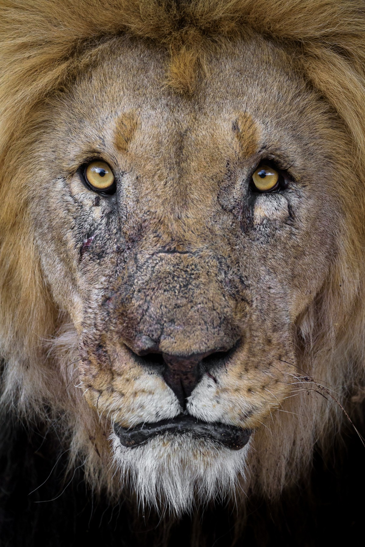 Portrait of a male lion - Erindi game reserve, Namibia