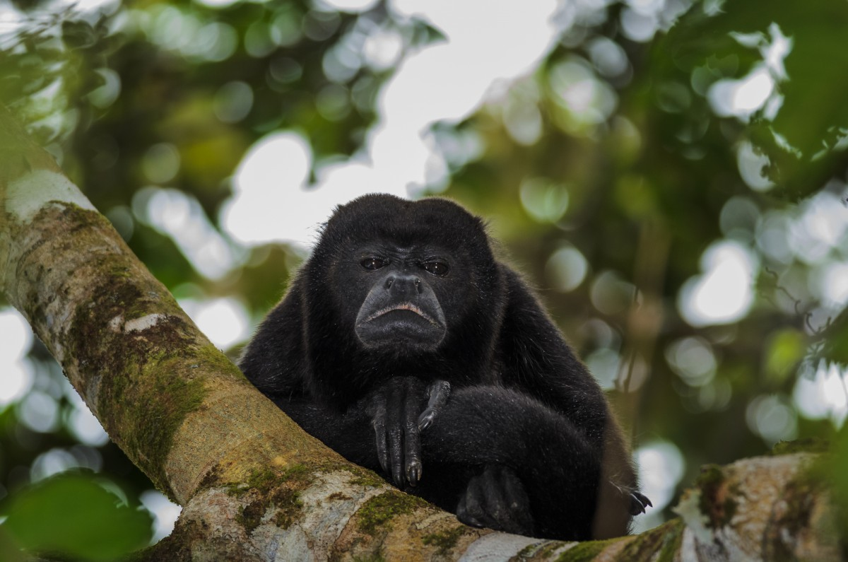 Mantled howler (Alouatta palliata) portrait.