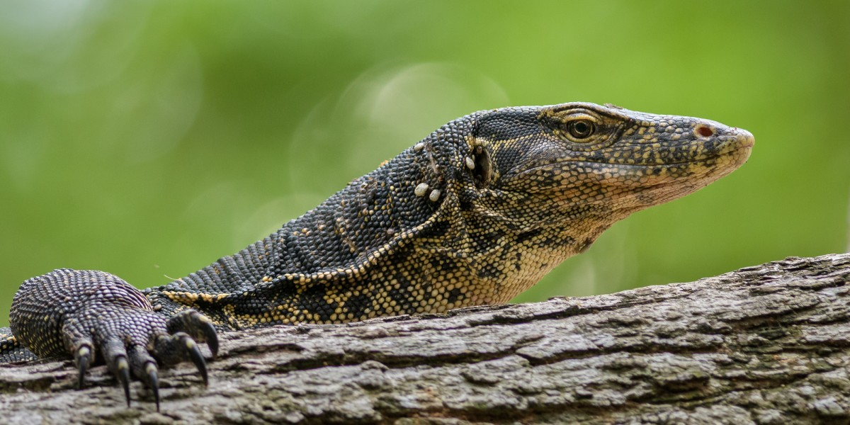 Portrait of an Asian water monitor