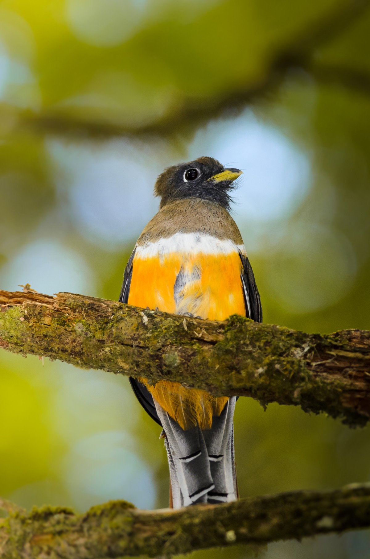 Female orange-bellied Trogon (Trogon aurantiiventris) perching on a branch.