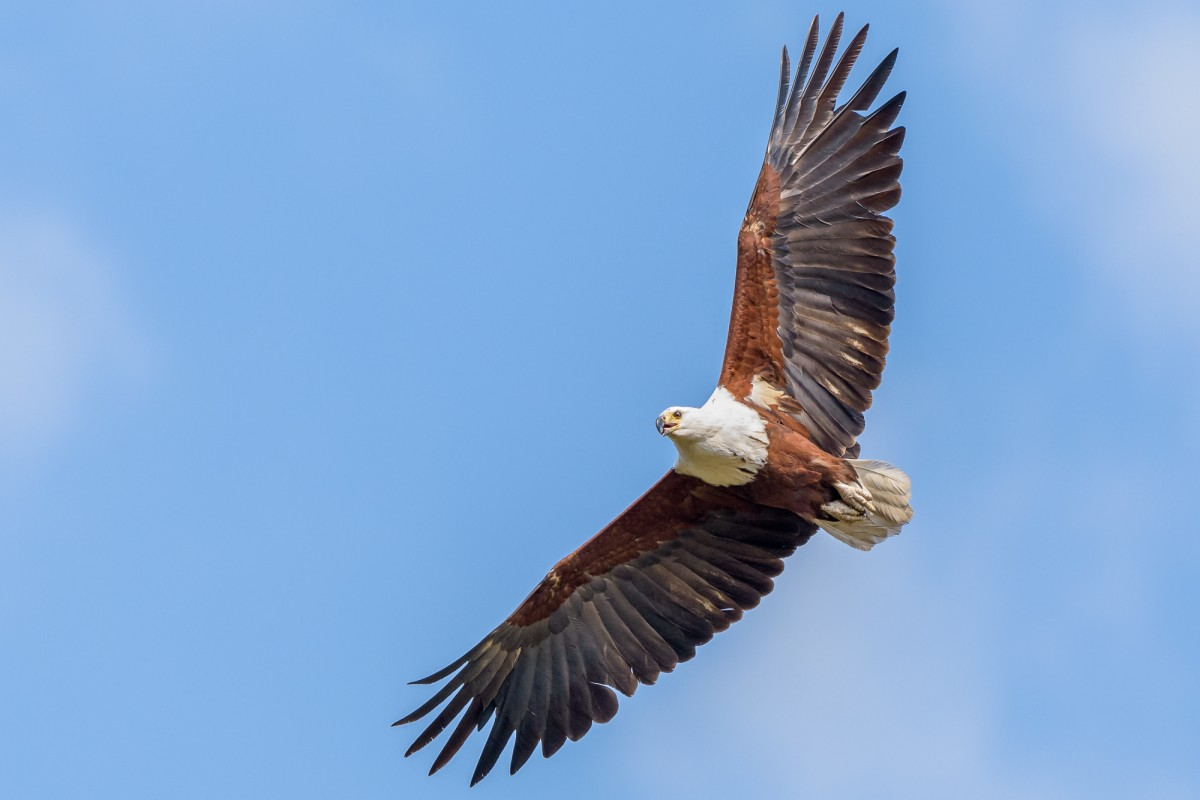 African Eagle in flight
