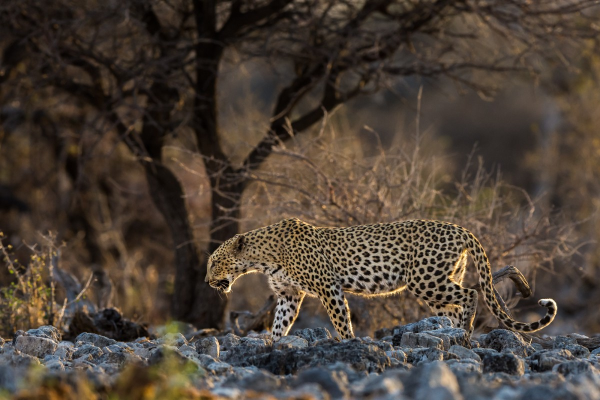 African leopard in sunset light - Etosha NP, Namibia