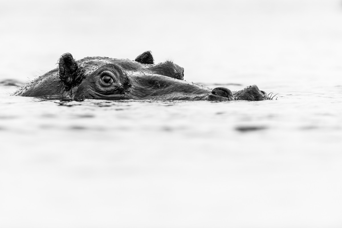 Hippo portrait Black and white
