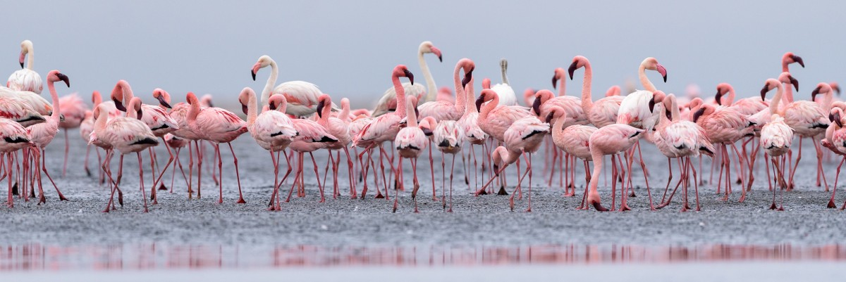 Greater and lesser flamingo