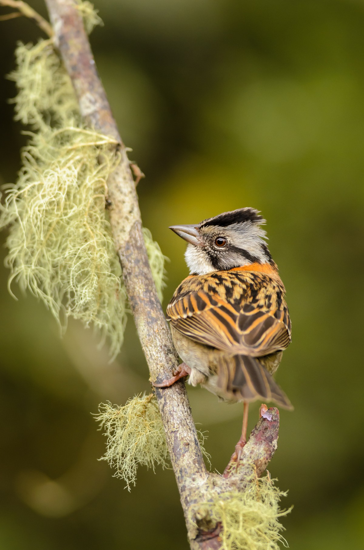 Rufous-collared Sparrow (Zonotrichia capensis) perching.