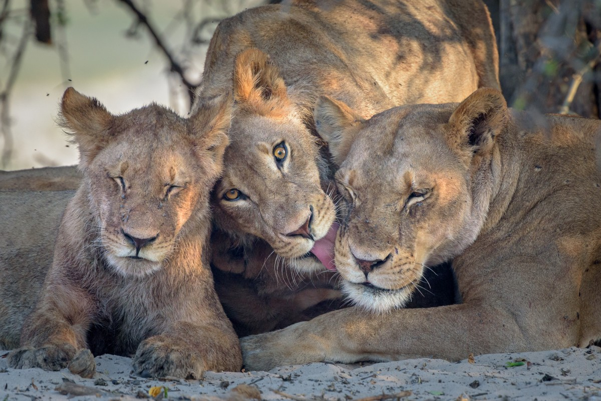 Small lion family - Chobe NP, Botswana