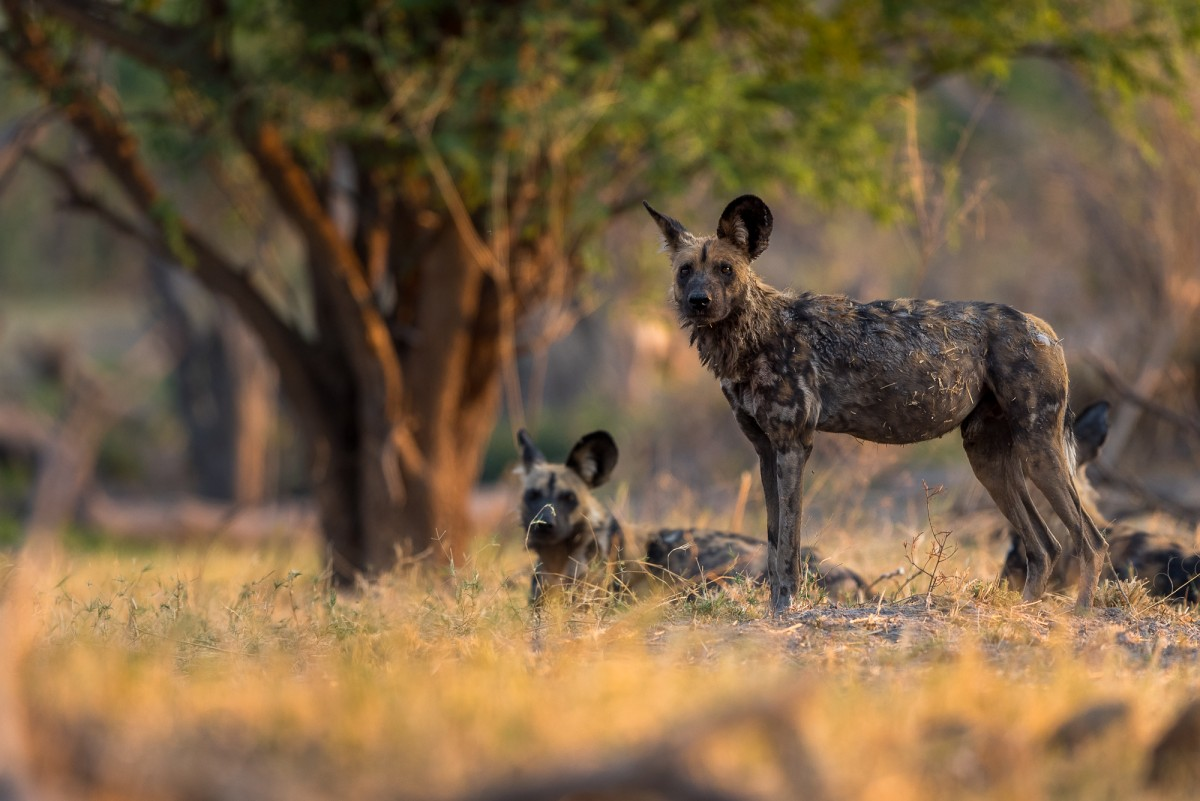African wild dog (Lycaon pictus) in golden light - Chobe Np, Botswana