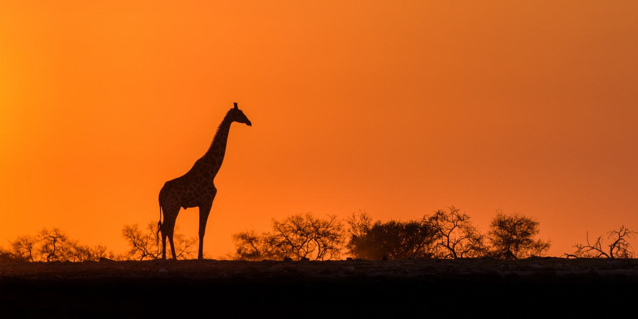 Angola giraffe during sunrise - Etsoha Np, Namibia