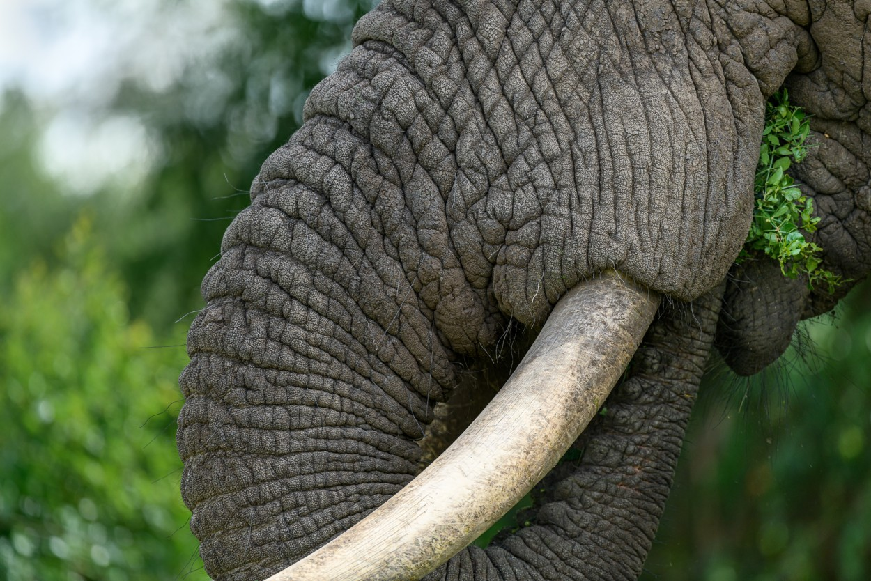 Closeup of an African elephant eating
