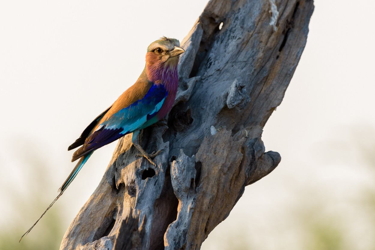 Lilac-breaster roller perched on a tree trunk