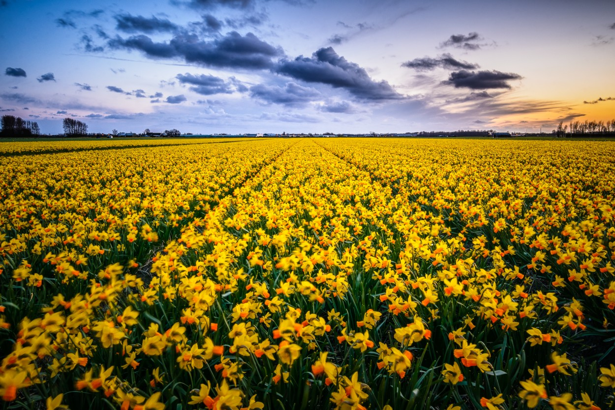 Sunset light over a field of Narcissus