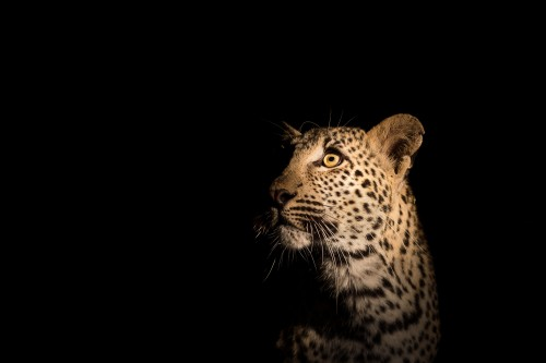 Portrait of an African leopard