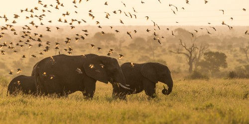 African elephants during sunset with a flock of birds flying over - Kruger Np, South Africa