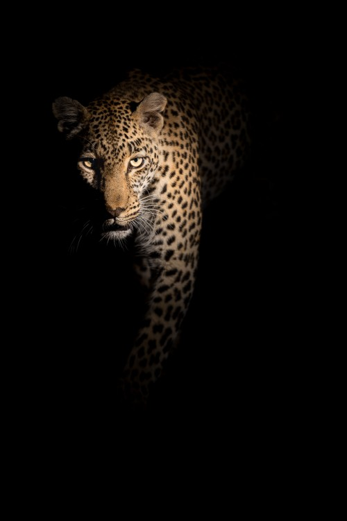 Female leopard in the darkness - Sabi Sands, South Africa