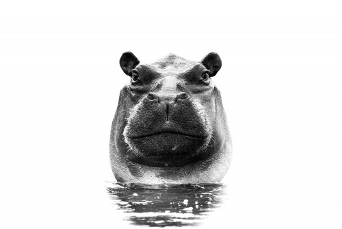 Black and white portrait of a hippo