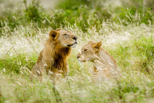 Lion and lioness in backlit grass - Kruger NP, South Africa
