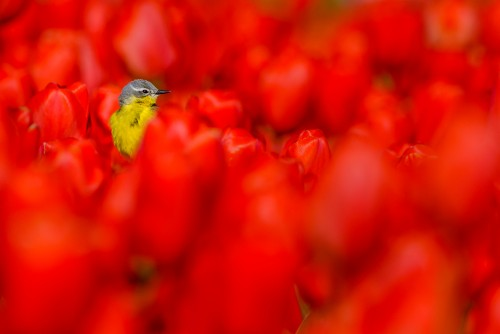 Yellow wagtail on red tulips